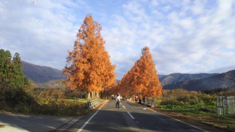 マキノ高原のメタセコイヤ並木