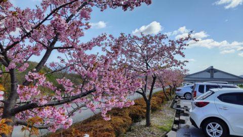 道の駅 近江母の郷の桜