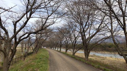 高時川(桜並木)