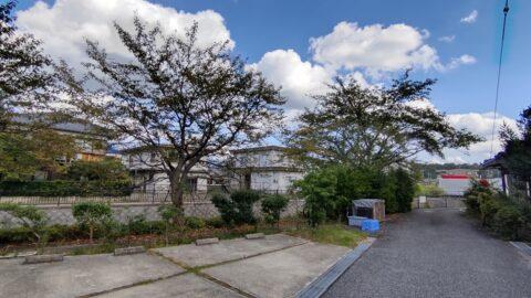 平田川沿いの八重桜